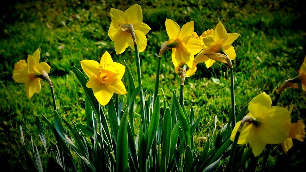 Blumen, Blüten, blossoms and flowers (serie) Narzissen, 76717/11597