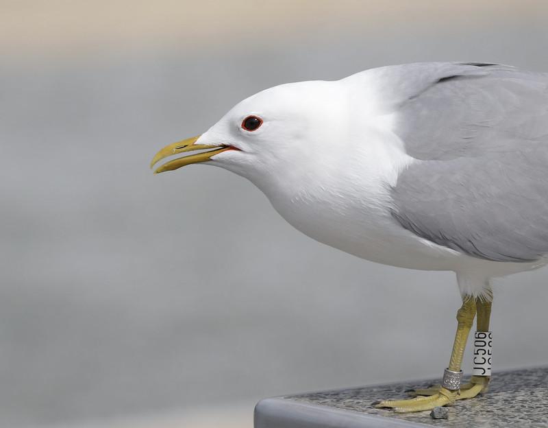 Mew Gull, Larus canus Bergen_  Norway_Ascanio 199A1054