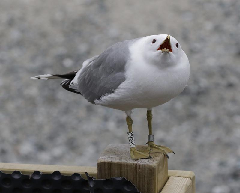 Mew Gull, Larus canus Bergen_Norway_Ascanio 199A0823