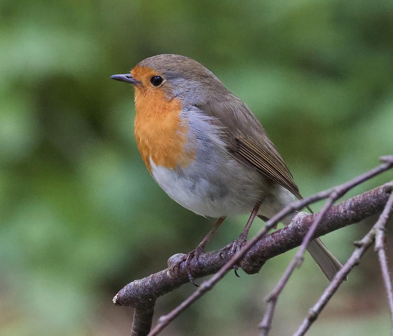 European Robin, Erithacus rubecula Bergen_Norway_Ascanio 199A1405