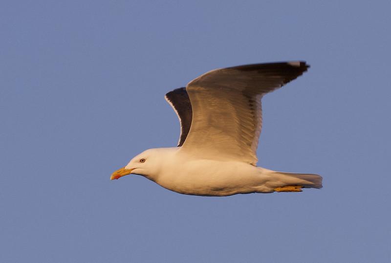 Great Black-backed Gull, Larus marinus Ascanio_Gerianger_Norway 199A1697