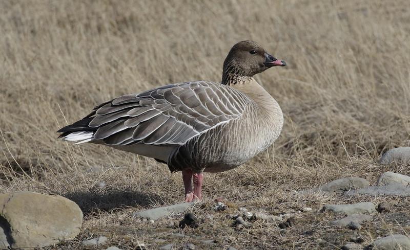 Pink-footed Goose_Anser brachyrhynchus Longyearbyen_Svalbard_Norway_Ascanio 199A9307