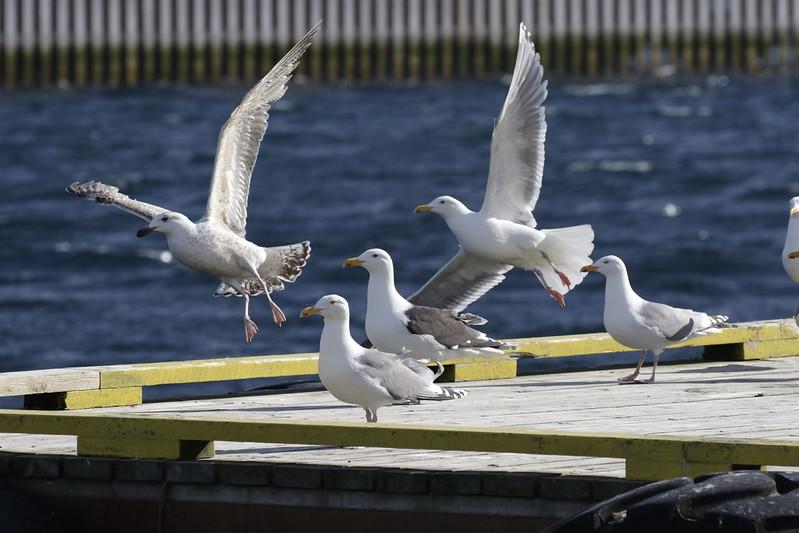 Gulls Ascanio_Traena_Norway 199A2919
