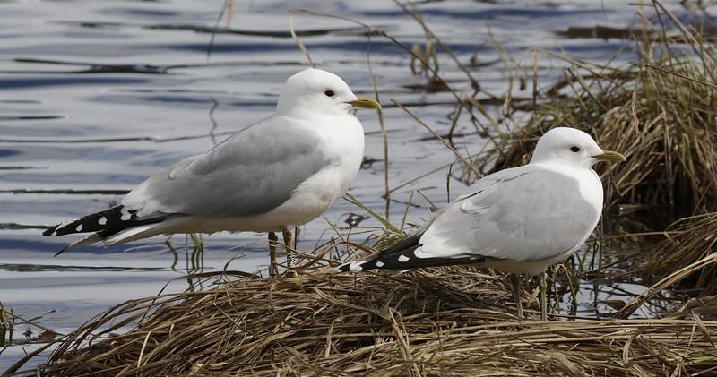 Mew Gull, Larus canus nesting Ascanio_tromso_Norway 199A4333