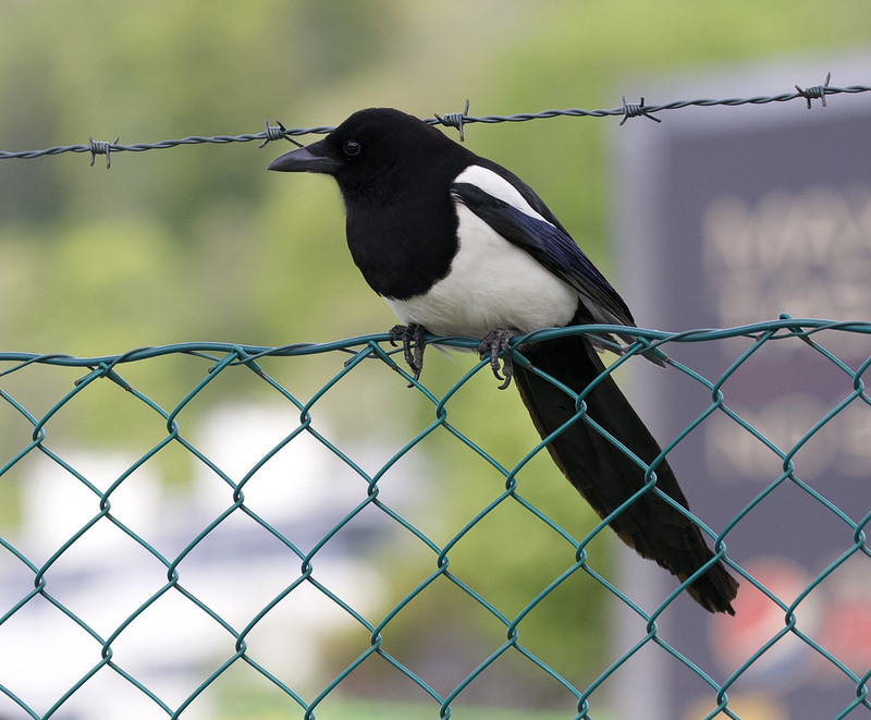 Eurasian Magpie, Pica pica Bergen_Norway_Ascanio 199A0914