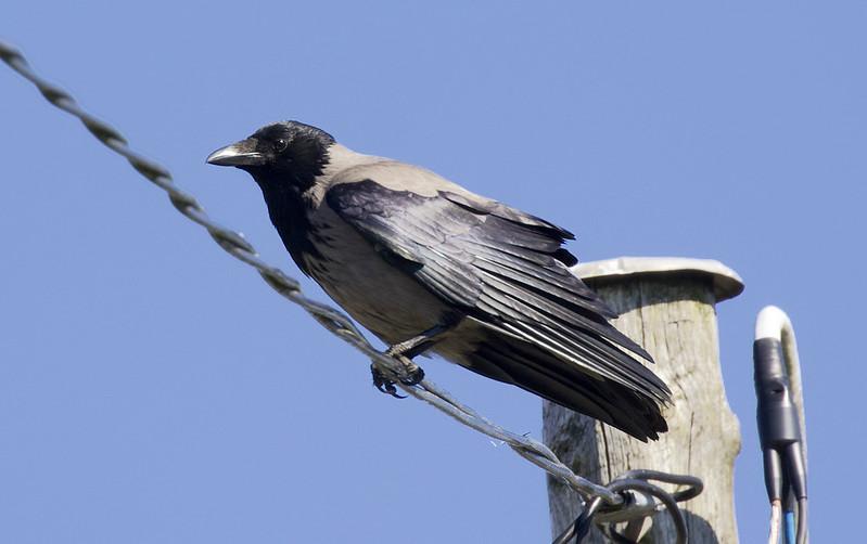 Hooded Crow, Corvus cornix Ascanio_Herdla_Norway 199A1443