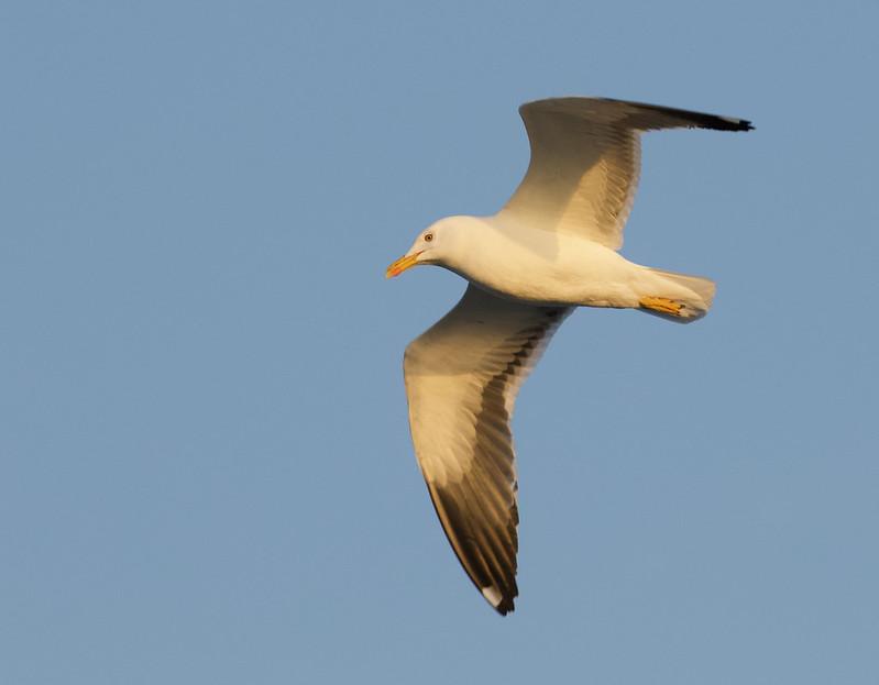 Great Black-backed Gull, Larus marinus Ascanio_Gerianger_Norway 199A1714