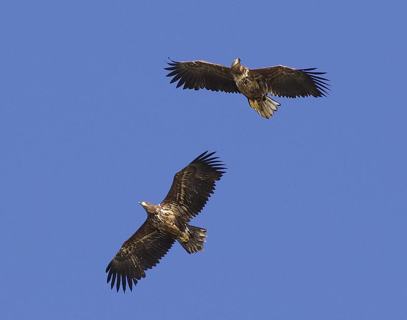 White-tailed Eagle, Haliaeetus albicilla Ascanio_Kjerringon_Norway 199A3264