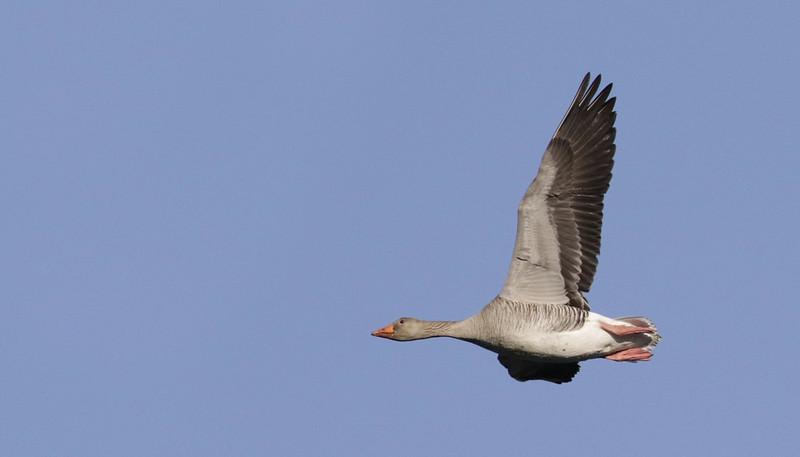 Graylag Goose, Anser anser Ascanio_Kjerringoy_Norway 199A2949