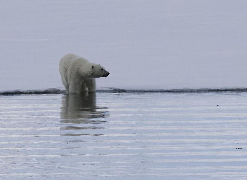 Polar Bear, Ursus maritimus Ascanio_Selodden Hornhl_Norway 199A6150