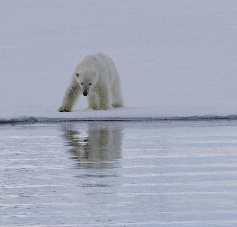 Polar Bear, Ursus maritimus Ascanio_Selodden Hornhl_Norway 199A6136