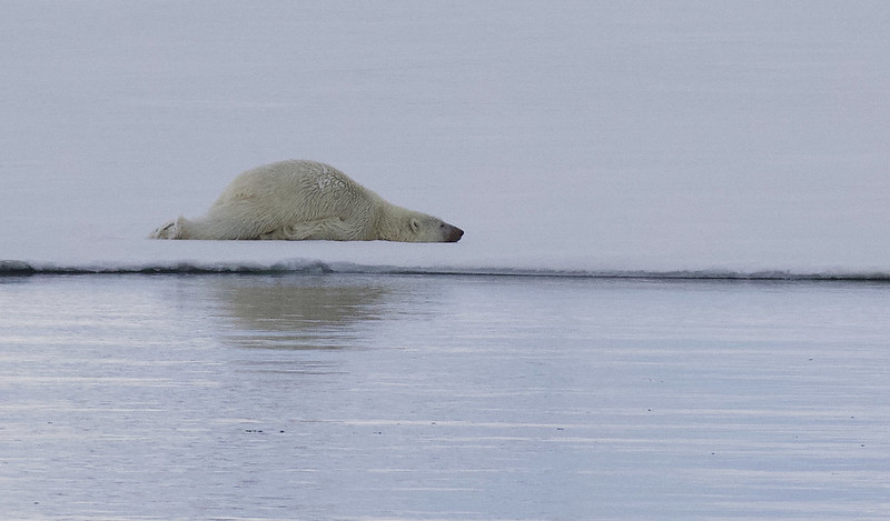 Polar Bear, Ursus maritimus Ascanio_Selodden Hornhl_Norway 199A6114