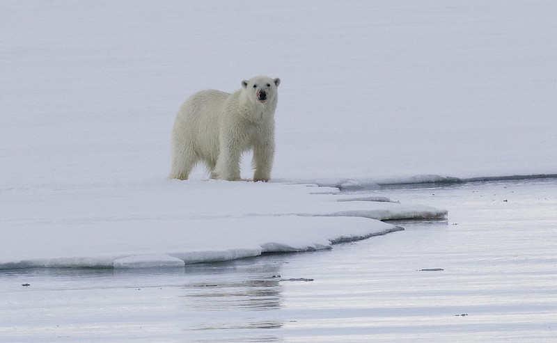 Polar Bear, Ursus maritimus Ascanio_Selodden Hornhl_Norway 199A6036