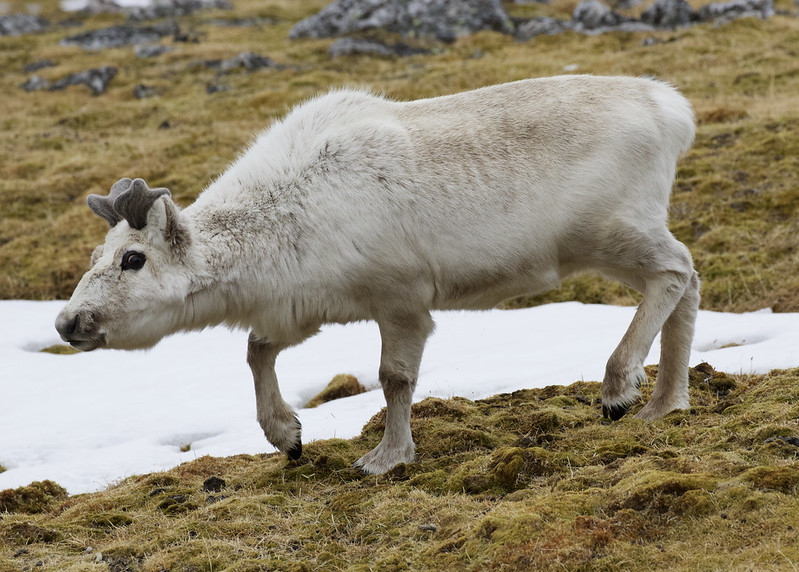 Reindeer, Rangifer tarandus Ascanio_Norway_Varsolbukta 199A6546