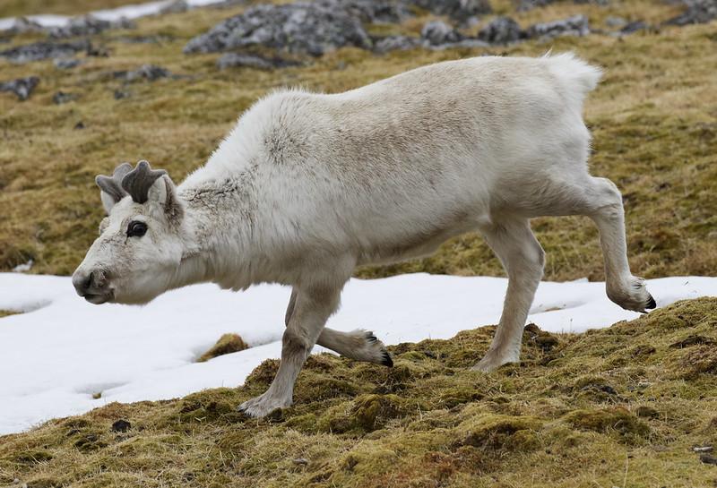 Reindeer, Rangifer tarandus Ascanio_Norway_Varsolbukta 199A6545