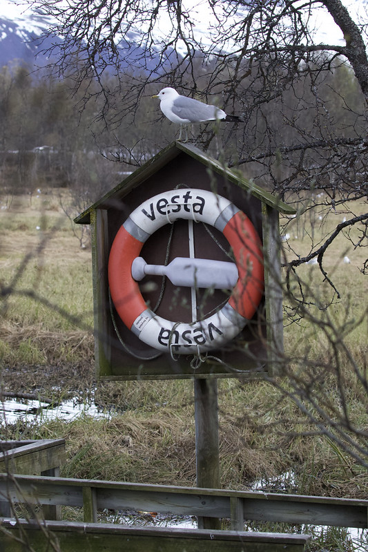 Mew Gull, Larus canus nesting Ascanio_tromso_Norway 199A4368