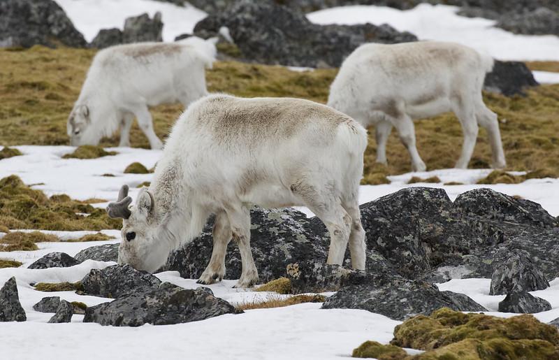 Reindeer, Rangifer tarandus Ascanio_Norway_Varsolbukta 199A6506