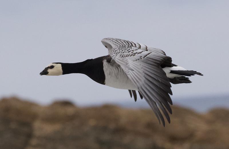 Barnacle Goose, Branta leucopsis Ascanio_ Varsolbukta _Norway 199A6769