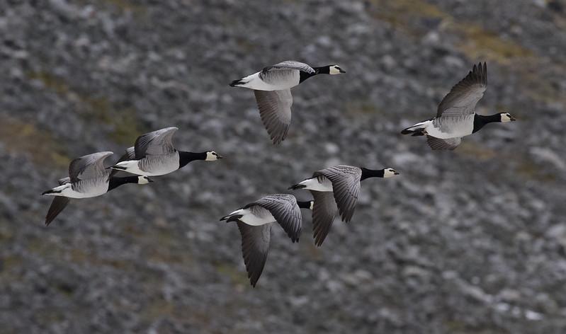 Barnacle Goose, Branta leucopsis Ascanio_ Varsolbukta _Norway 199A6444