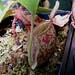 Nepenthes ampullaria 'Bronze Nabire'