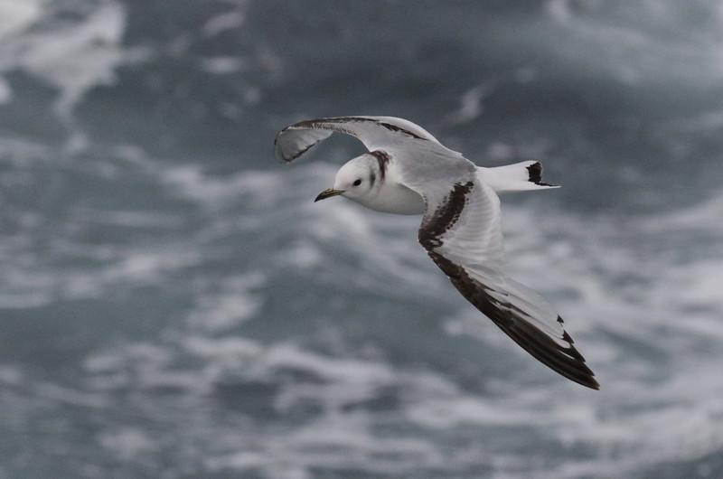 Black-legged Kittiwake, Rissa tridactyla Ascanio_At sea_Norway 199A4523