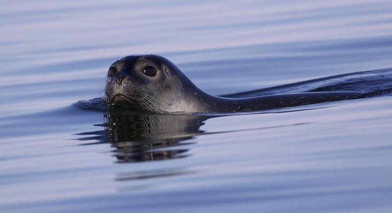 Harbor Seal_Phoca vitulina Magdalena Fjord_Norway_Ascanio 199A6879