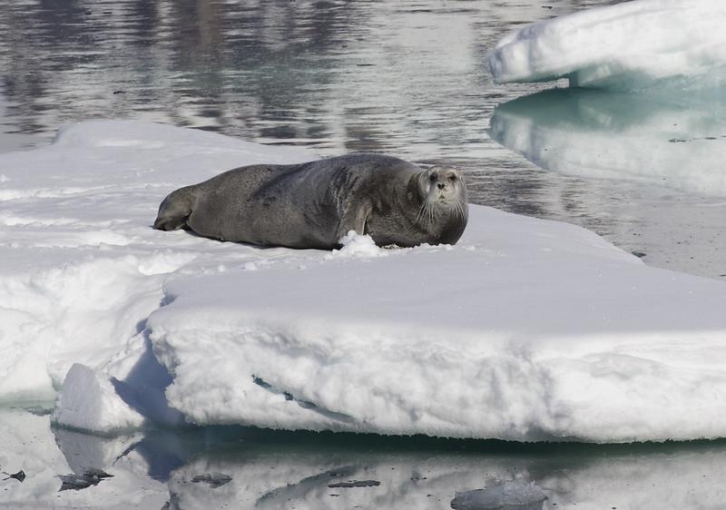 Bearded Seal_Erignathus barbatus Ascanio_Magdalena Fjord_Ascanio 199A7511