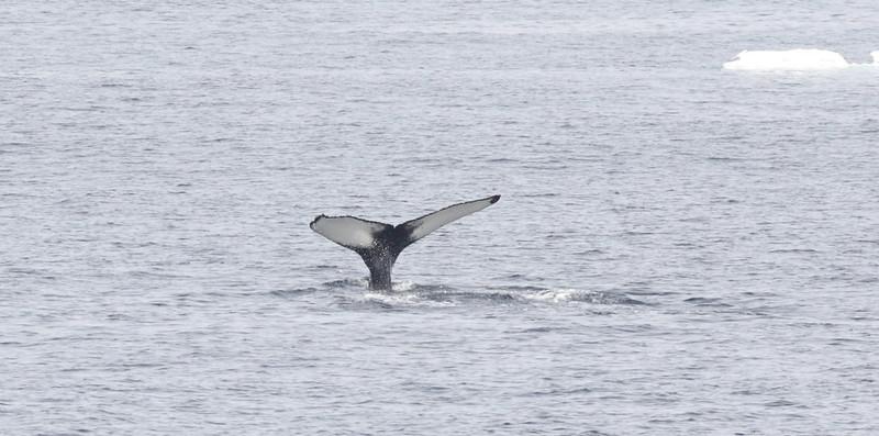 Sperm Whale Ascanio_Storfjorden_Ascanio 199A5421