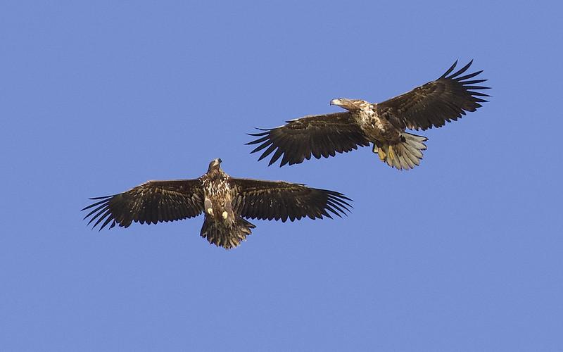 White-tailed Eagle, Haliaeetus albicilla Ascanio_Kjerringon_Norway 199A3247