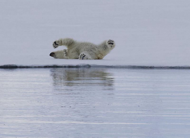 Polar Bear, Ursus maritimus Ascanio_Selodden Hornhl_Norway 199A6128