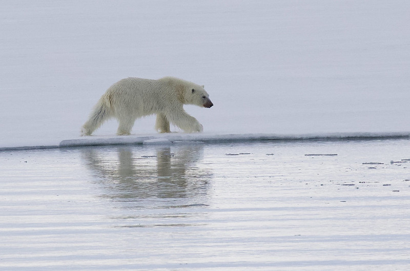 Polar Bear, Ursus maritimus Ascanio_Selodden Hornhl_Norway 199A6048