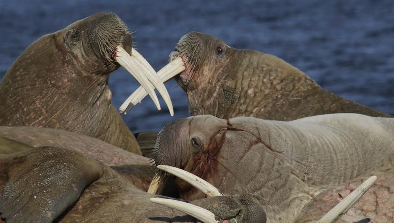Walrus_Odobenus rosmarus Ascanio_Poolepynten_Norway 199A8379