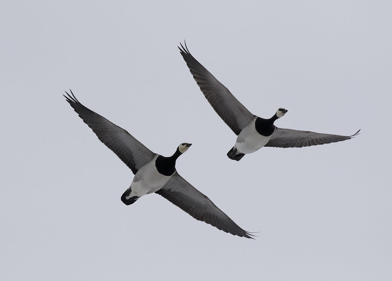 Barnacle Goose, Branta leucopsis Ascanio_ Varsolbukta _Norway 199A6406
