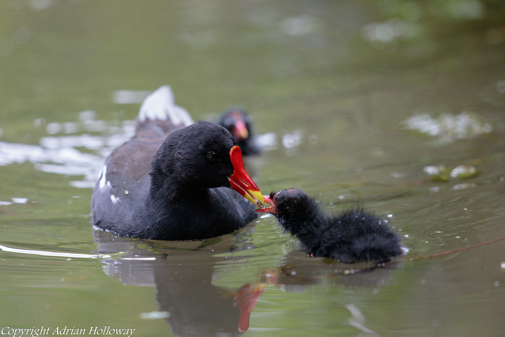 Moorhen and chick.