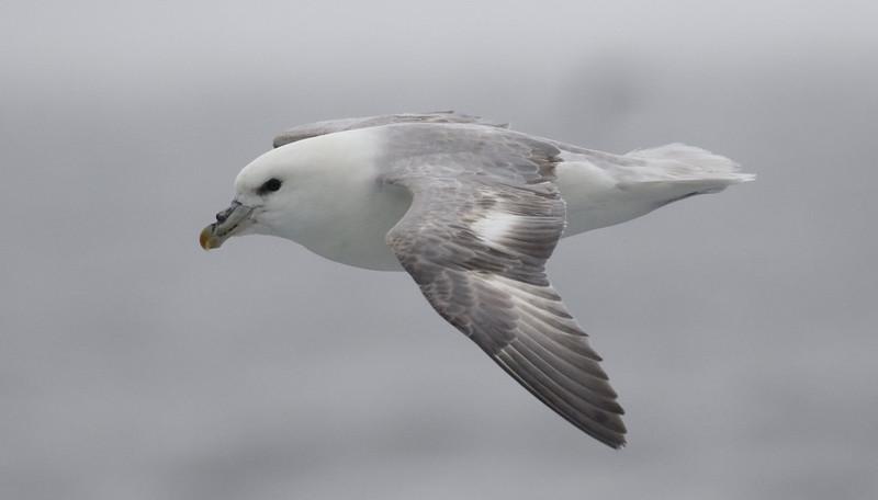 Northern Fulmar, Fulmarius glacialis Ascanio_At Sea_Norway 199A5063