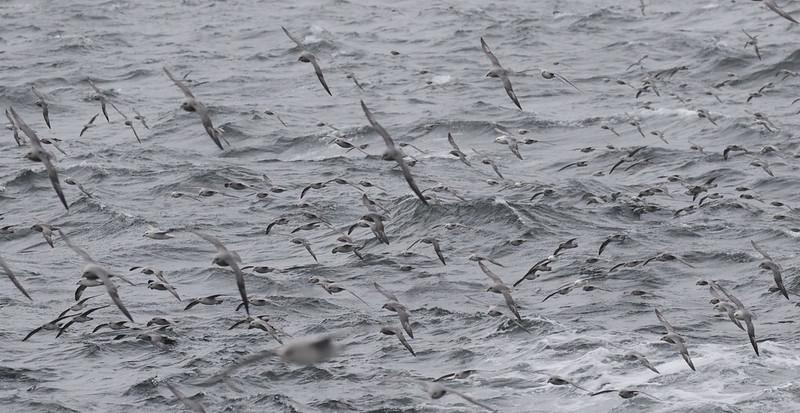 Northern Fulmar, Fulmarius glacialis Ascanio_At Sea_Norway 199A5004