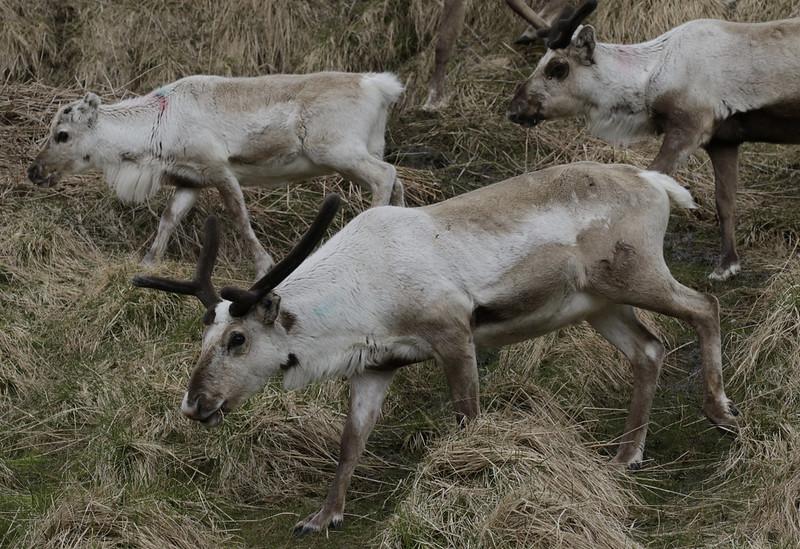 Reindeer, Rangifer tarandus Ascanio_North Cape_Norway 199A4410