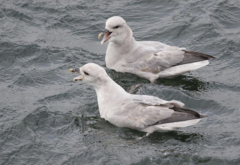 Northern Fulmar, Fulmarius glacialis Ascanio_At Sea_Norway 199A4798