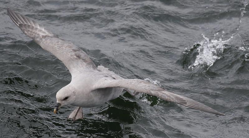 Northern Fulmar, Fulmarius glacialis Ascanio_At Sea_Norway 199A4756
