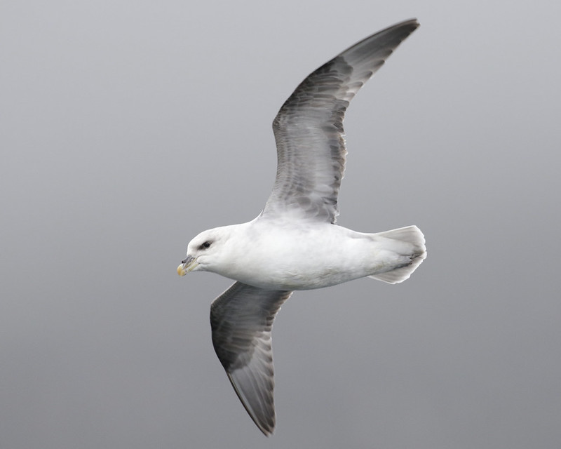 Northern Fulmar, Fulmarius glacialis Ascanio_At Sea_Norway 199A4709