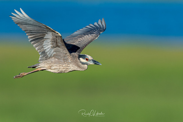 Yellow-crowned Night Heron - Nyctanassa violacea | 2019 - 1