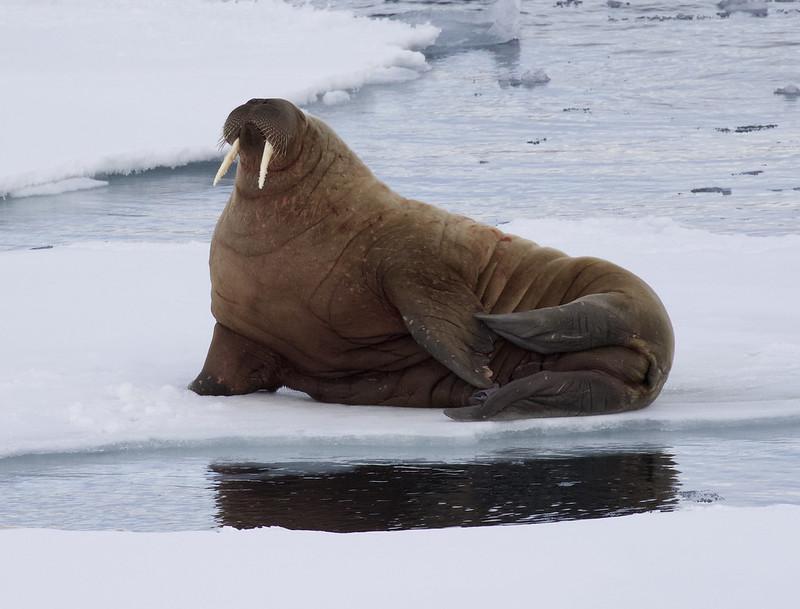 Walrus, Odobenus rosmarus Ascanio_ Storfjorden _Norway 199A5795