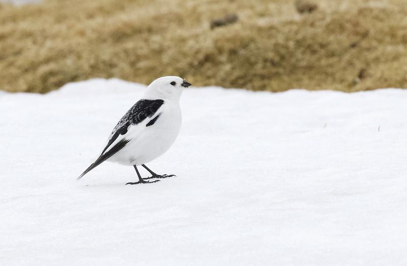 Snow Bunting, Plectrophenax nivalis Ascanio_Varsolbukta_Norway 199A6588