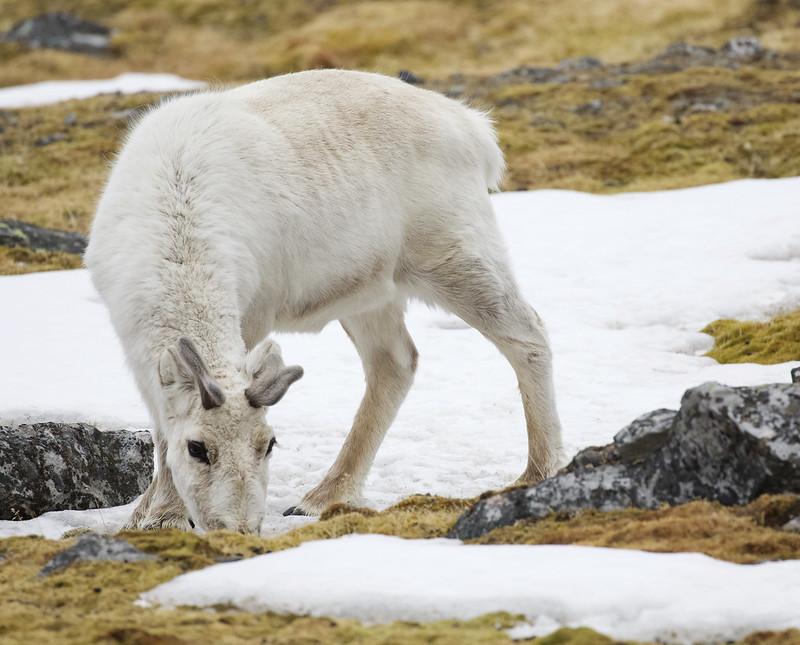 Reindeer, Rangifer tarandus Ascanio_Norway_Varsolbukta 199A6523