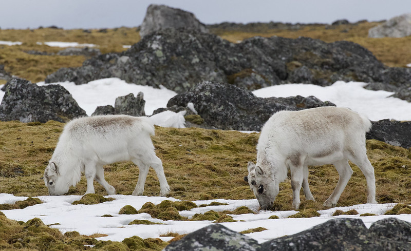 Reindeer, Rangifer tarandus Ascanio_Norway_Varsolbukta 199A6510