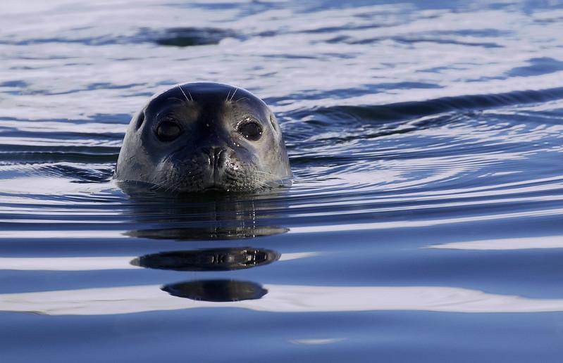 Harbor Seal_Phoca vitulina Magdalena Fjord_Norway_Ascanio 199A6874