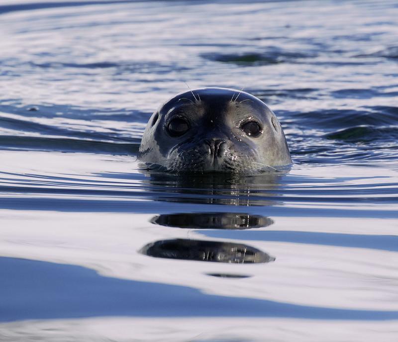 Harbor Seal_Phoca vitulina Magdalena Fjord_Norway_Ascanio 199A6872