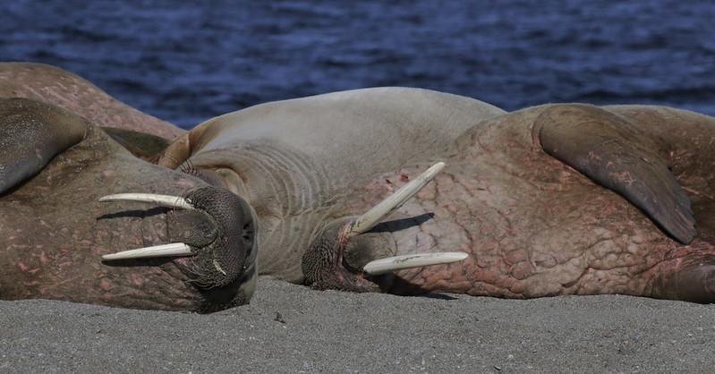 Walrus_Odobenus rosmarus Ascanio_Poolepynten_Norway 199A8409