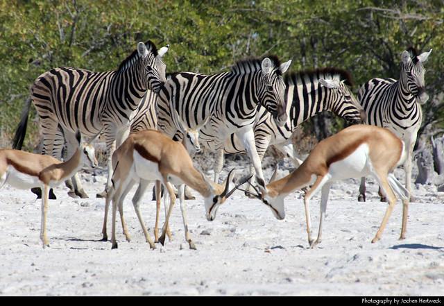 Zebras & Springboks, Etosha NP, Namibia