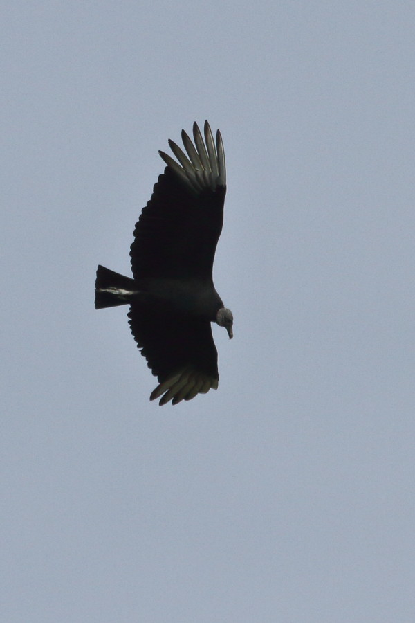 Black Vulture, Collier Co., OR_5822(1)